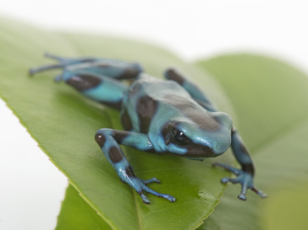 poison dart frogs: Dendrobates auratus celeste in front of white background Stock Photo