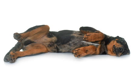 laying down: young beauceron in  front of white background Stock Photo
