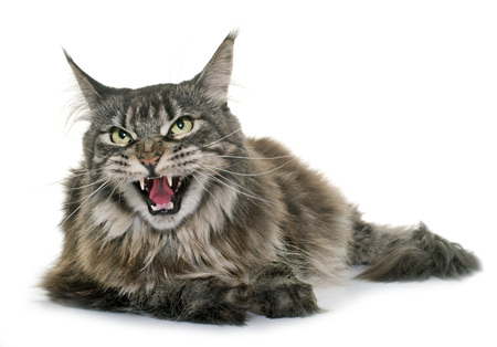 angry maine coon in front of white background Standard-Bild