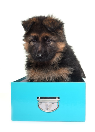 animal hair: puppy german shepherd in front of white background Stock Photo