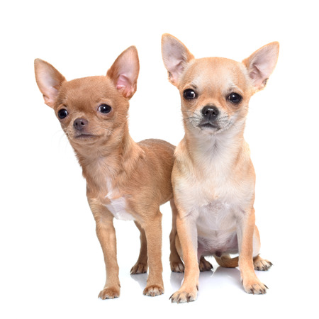 animal hair: puppies chihuahua in front of white background Stock Photo