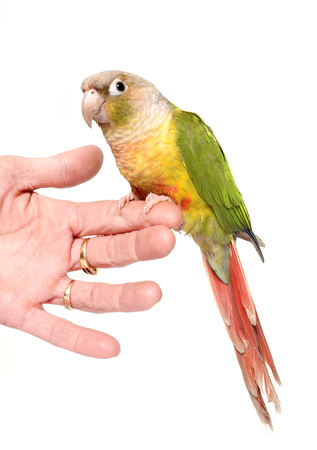 conure cinnamon in front of white background Stock Photo