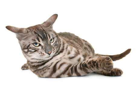 gray cat: bengal cat in front of white background Stock Photo