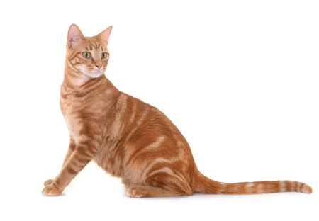 pet cat: ginger cat in front of white background