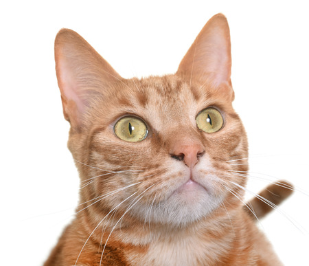 male animal: ginger cat in front of white background