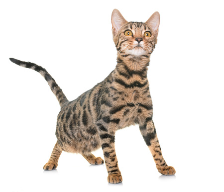 male animal: bengal cat in front of white background Stock Photo