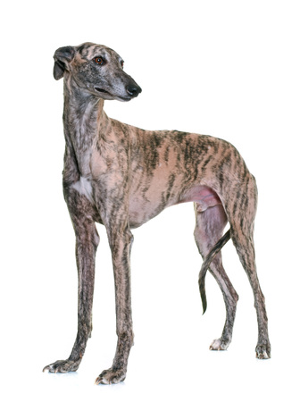 male animal: galgo espanol in front of white background