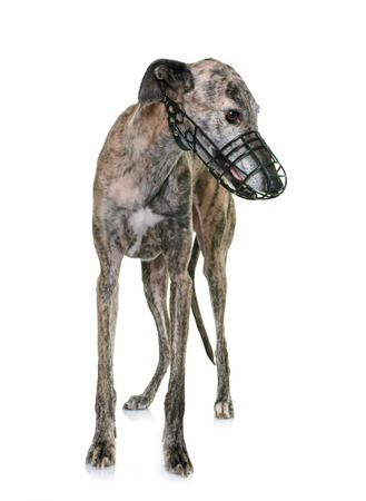 muzzle: galgo espanol with muzzle in front of white background