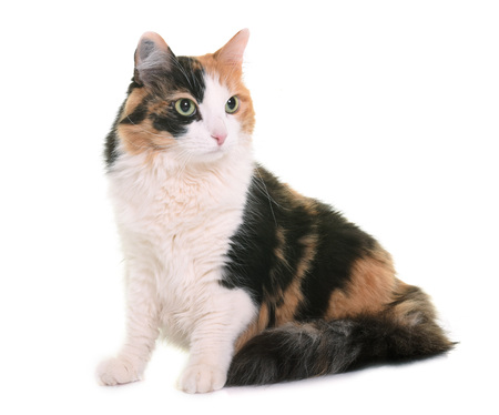 tricolor: tricolor cat in front of white background
