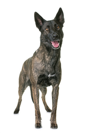 dutch shepherd in front of white background Stock Photo