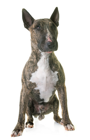male animal: bull terrier in front of white background Stock Photo