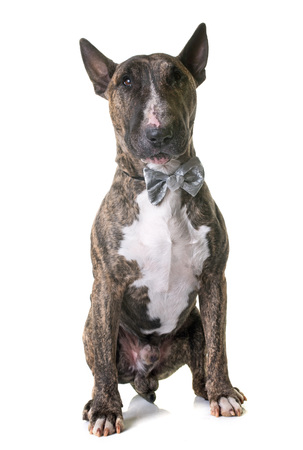 bull terrier in front of white background Stock Photo