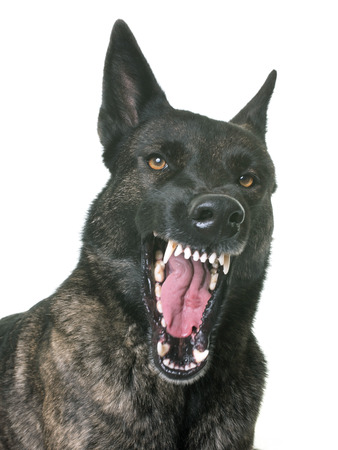 dutch shepherd in front of white background