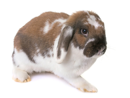 lop eared: Dwarf lop-eared rabbit in front of white background Stock Photo