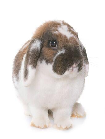 Zwerg-lop-eared Kaninchen vor weißem Hintergrund Standard-Bild