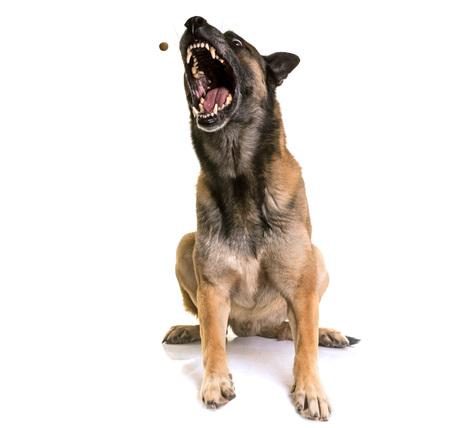 kampfhund: Belgischer Schäferhund Malinois vor weißem Hintergrund