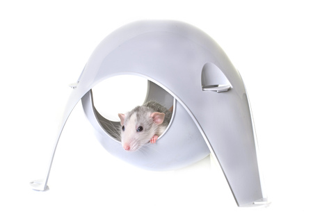 plastico pet: young rat playing in a toy