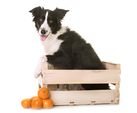 border collie in front of white background Stock Photo