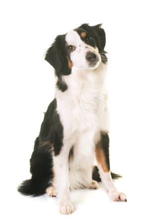 miniature: miniature american shepherd in front of white background