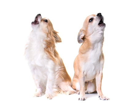 two chihuahuas howling in front of white background Stock Photo