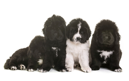 puppies newfoundland dog in front of white background