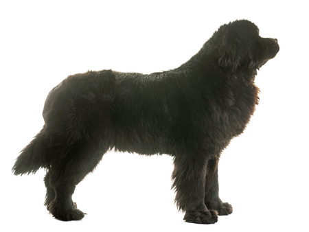 adult newfoundland dog in front of white background