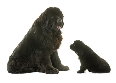 puppy and adult newfoundland dog in front of white background Stock Photo