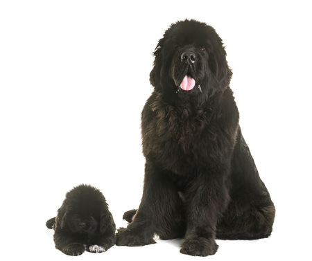 black and white newfoundland dog: puppy and adult newfoundland dog in front of white background Stock Photo
