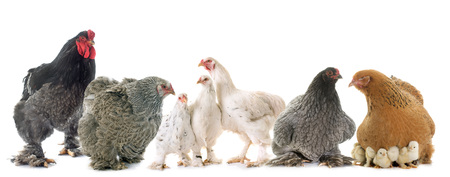 brahma chicken in front of white background Stock Photo