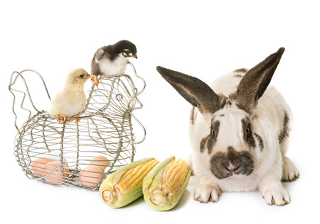 giant easter egg: Checkered Giant rabbit and chicks in front of white background