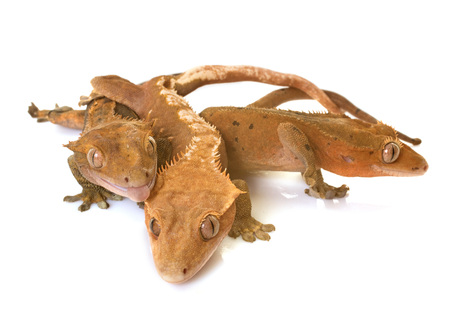 Crested gecko in front of white background