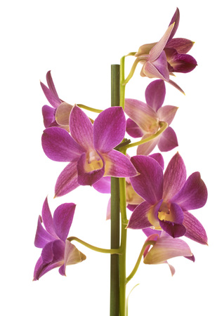 Dendrobium orchids in front of white background
