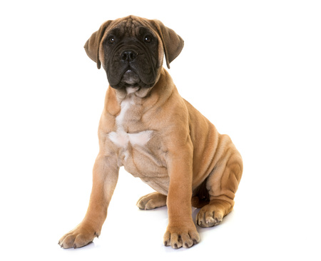 puppy bullmastiff in front of white background Stock Photo