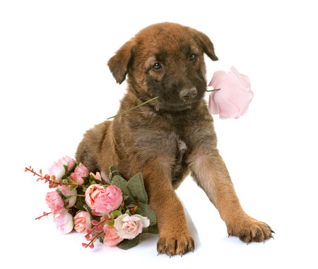 puppy belgian shepherd dog laekenois in front of white background Stock Photo