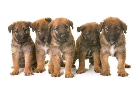 puppies belgian shepherd dog laekenois in front of white background Stock Photo