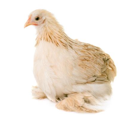 Pekin chicken in front of white background Stok Fotoğraf