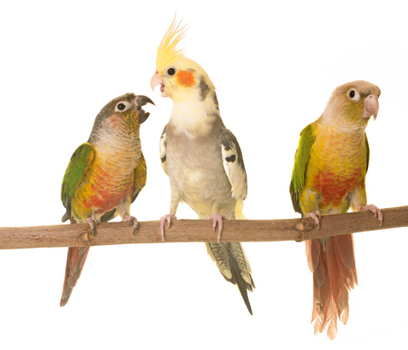 young cockatiel and Green-cheeked parakeet in front of white background Stock Photo