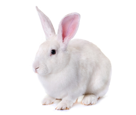 white rabbit in front of white background