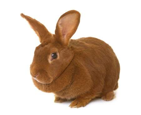 Fauve de Bourgogne rabbit in front of white background