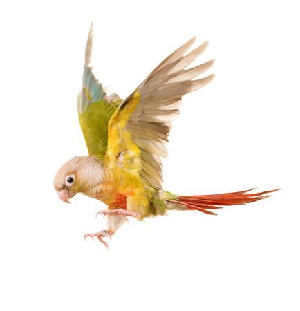 periquito: volando perico de mejillas verdes delante de fondo blanco Foto de archivo