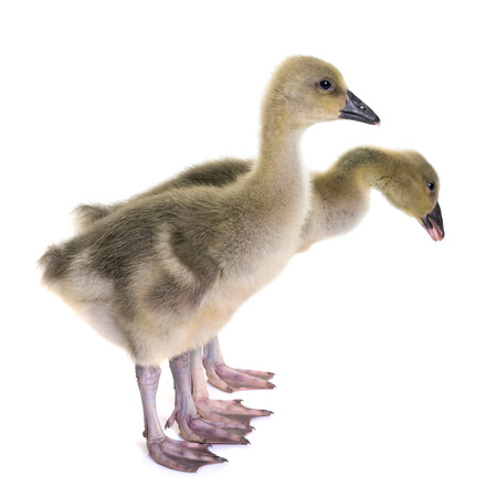 young gosling in front of white background Stock Photo