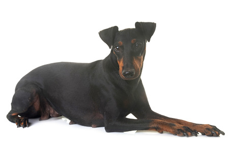 female manchester terrier in front of white background Stock Photo