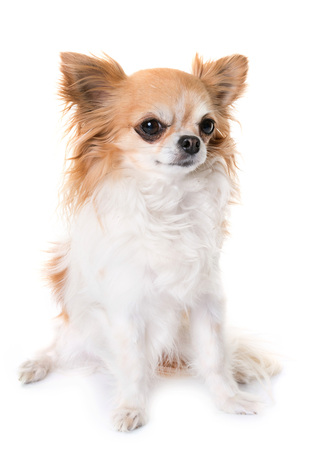 chihuahua howling in front of white background