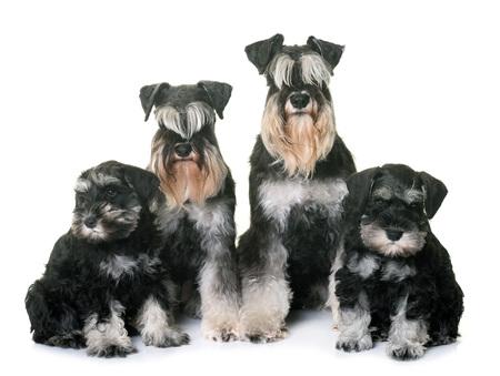 familias jovenes: family miniature schnauzer in front of white background