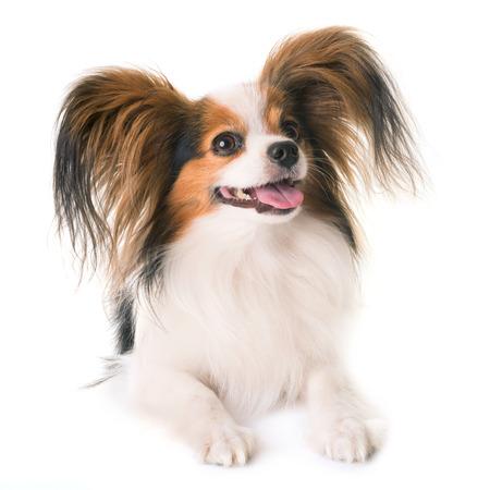 白い背景の前でパピヨン犬