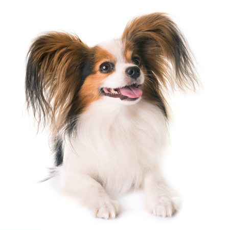 papillon dog in front of white background Banco de Imagens