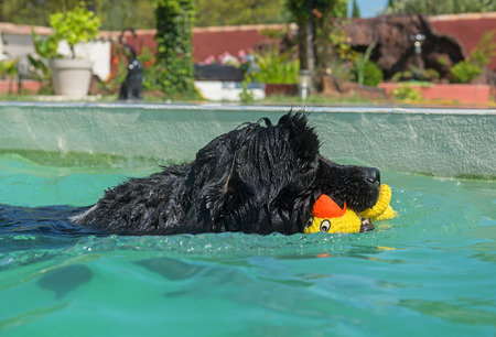 adult newfoundland dog in a swimming pool