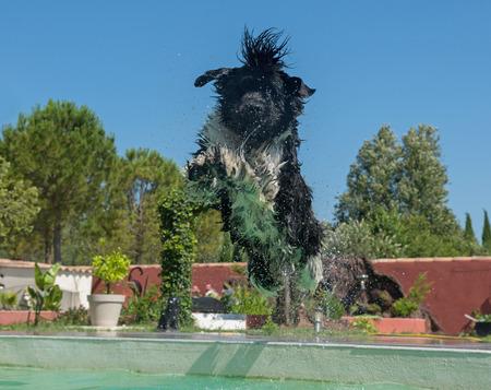 Adulte chien de terre-neuve dans une piscine Banque d'images - 80883067