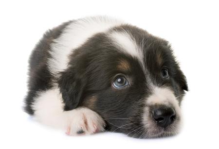 Australian chien berger en face de fond blanc Banque d'images - 80883085