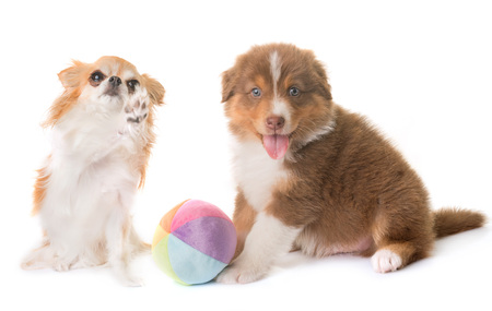 australian shepherd dog and chihuahua in front of white background Stock Photo
